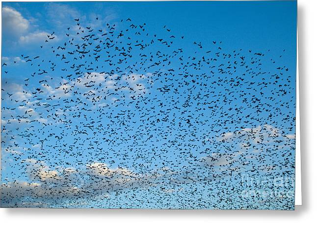 Cowbird Greeting Cards - Flock Of Cowbirds Molothrus Ater Greeting Card by Raul Gonzalez Perez