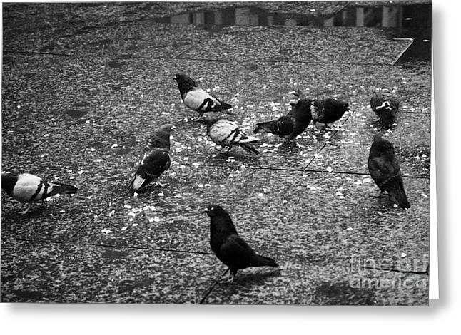 Feral Pigeon Greeting Cards - Flock Of Urban Pigeons Eating Bread Thrown Down On Glasgow Street Scotland U Greeting Card by Joe Fox