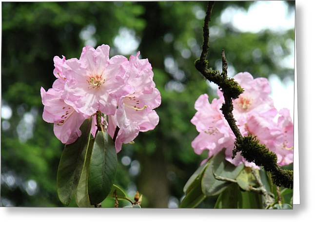 �rhodies Flowers� Greeting Cards - Floral Garden Pink Rhododendron Flowers Baslee Troutman Greeting Card by Baslee Troutman Fine Art Photography