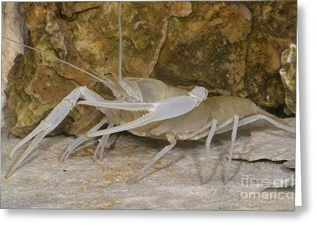 Troglobitic Greeting Cards - Florida Cave Crayfish Greeting Card by Dante Fenolio