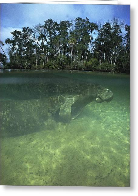 Aquatic Split Level Views Greeting Cards - Florida Manatee, Crystal River, Florida Greeting Card by Joe Stancampiano