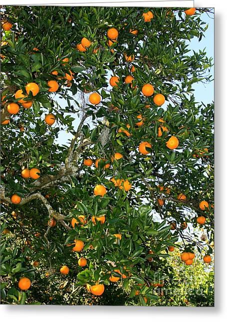 Orange Greeting Cards - Florida Oranges Greeting Card by Carol Groenen