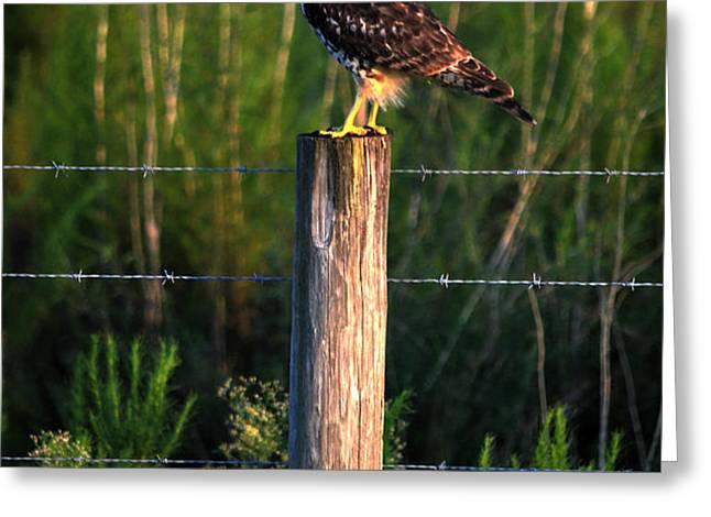 Florida Red-Shouldered Hawk Greeting Card by Ronald T Williams