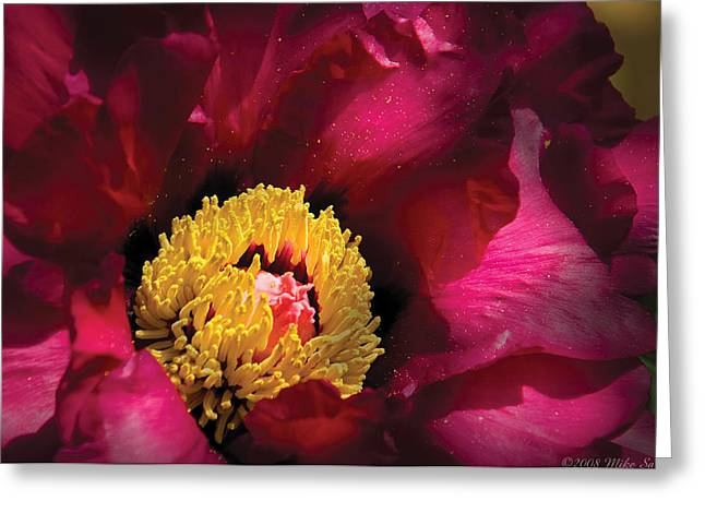 Botanist Greeting Cards - Flower - Peony Greeting Card by Mike Savad