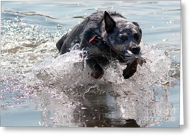 Blue Heeler Greeting Cards - Flower for You Greeting Card by Cathy Weaver