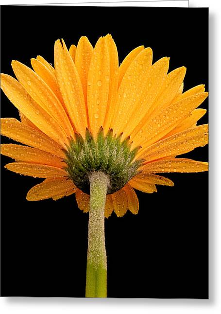 Garden Of Daisies Greeting Cards - Dewy Daisy from Behind Greeting Card by Jean Noren