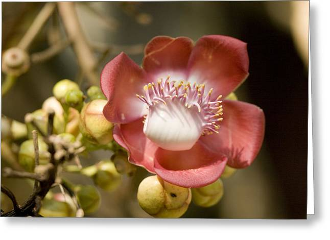 Cannonball Greeting Cards - Flower Of The Cannonball Treecouroupita Greeting Card by Tim Laman