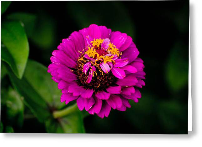 Flowers With Back Ground Greeting Cards - Flower Pink Greeting Card by Joris Shaw