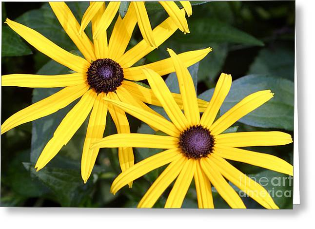 Blacklight Greeting Cards - Flower Rudbeckia Fulgida In Full Greeting Card by Ted Kinsman