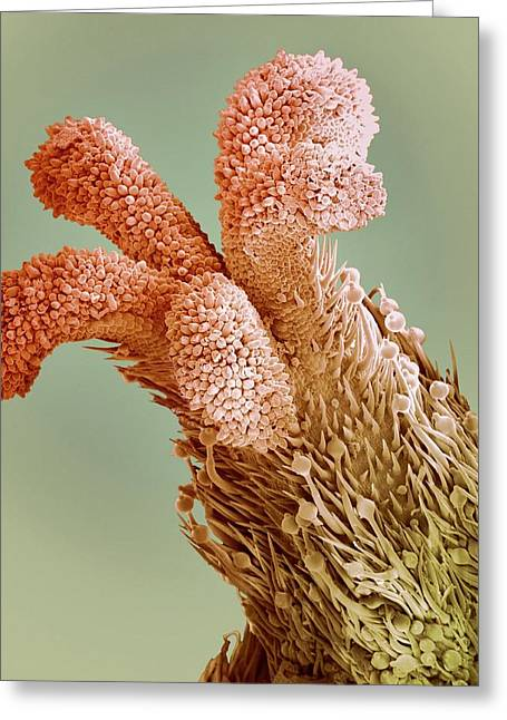Flower Stigma, Sem Greeting Card by Steve Gschmeissner