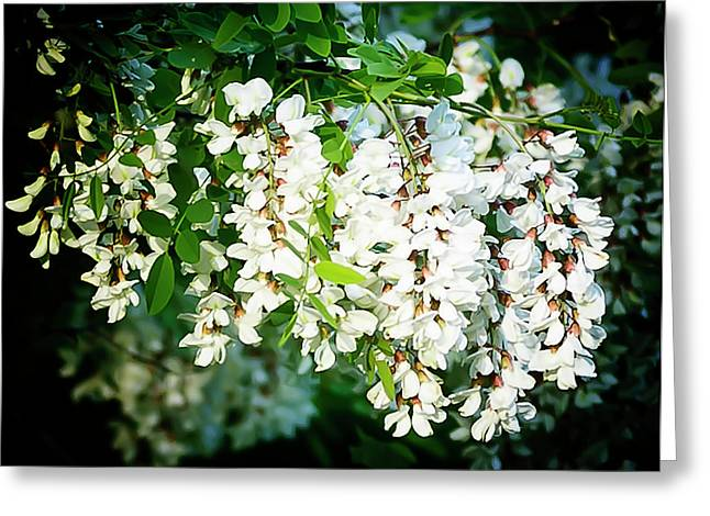 Locus Greeting Cards - Flowering Locust 2 Greeting Card by Michael Putnam