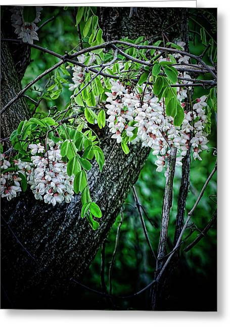 Locus Greeting Cards - Flowering Locust  Greeting Card by Michael Putnam