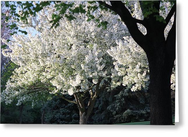 Flowering Springtime Tree Greeting Card by James Hammen