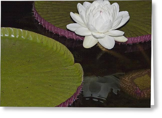 Victoria Amazonica White Flower Greeting Card by Heiko Koehrer-Wagner