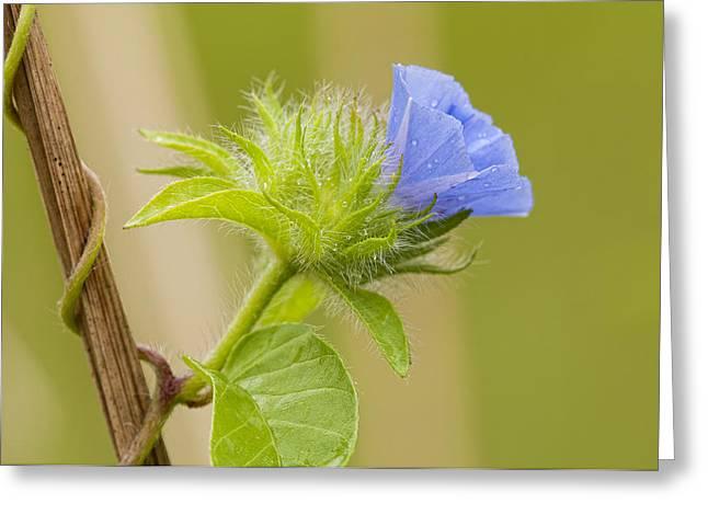 Flowering Vines Greeting Cards - Flowering Wild Vine Greeting Card by Bonnie Barry