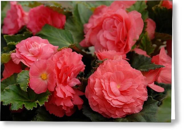 Blue Begonias Greeting Cards - Flowers 357 Greeting Card by Joyce StJames