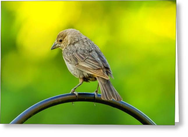 Bird-feeder Greeting Cards - Flowing Female Cowbird Greeting Card by Bill Tiepelman