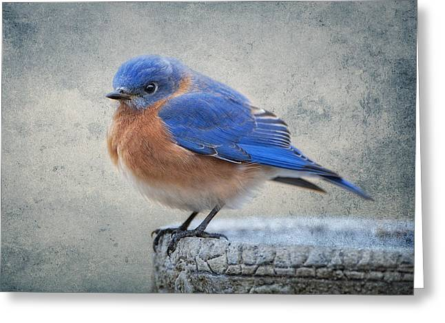 Cobalt Blues Greeting Cards - Fluffy Bluebird Greeting Card by Bonnie Barry