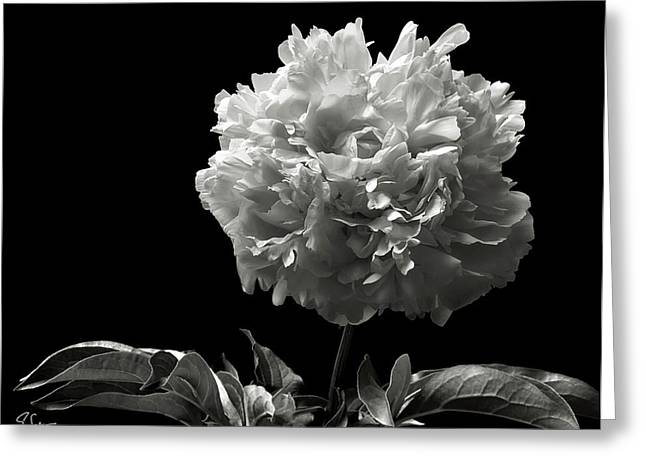 Flower Photos Greeting Cards - Fluffy Peony in Black and White Greeting Card by Endre Balogh