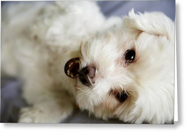 Kauai Dog Greeting Cards - Fluffy Puppy Greeting Card by Kicka Witte - Printscapes