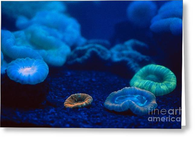 Fluorescent Corals Greeting Card by Kjell B Sandved and Photo Researchers