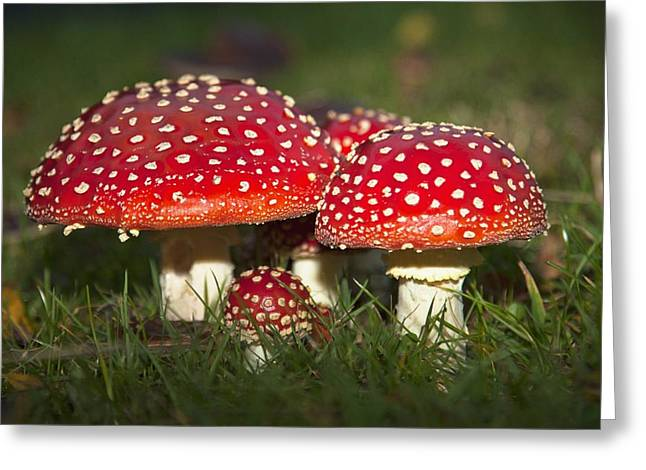 Ground Level Greeting Cards - Fly Agaric Amanita Muscaria Mushrooms Greeting Card by John Short