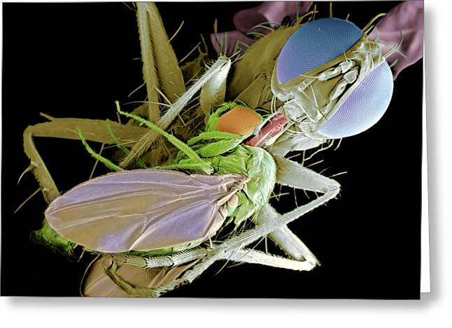 Eating Entomology Greeting Cards - Fly Eating Another Fly, Sem Greeting Card by Volker Steger