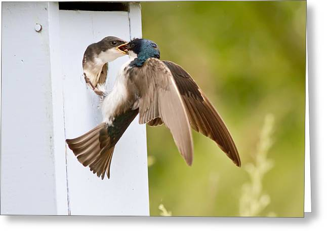 Swallow Chicks Greeting Cards - Fly In Meal Greeting Card by Carl Jackson