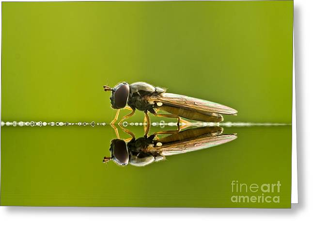 Butterfly Prey Greeting Cards - Fly reflection Greeting Card by Odon Czintos