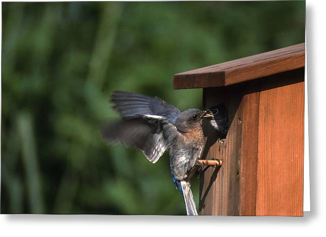 Photos Of Birds Greeting Cards - Fly Through Greeting Card by Skip Willits