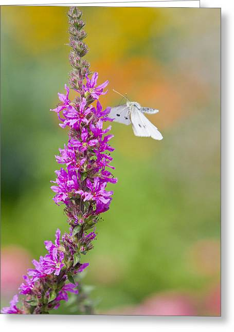 Pieris Rapae Greeting Cards - Flying Butterfly Greeting Card by Melanie Viola