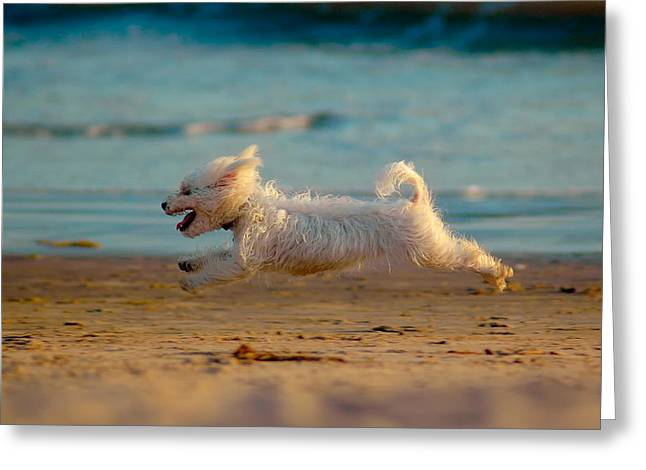 Maltese Dogs Greeting Cards - Flying Dog Greeting Card by Harry Spitz