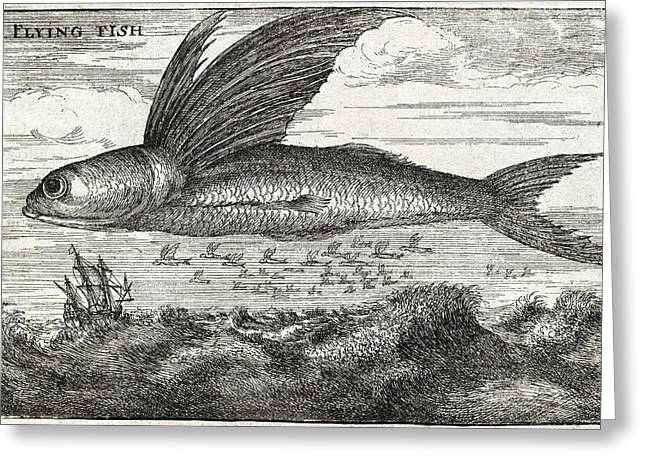 Flying Fish Greeting Cards - Flying Fish, 17th Century Artwork Greeting Card by Middle Temple Library