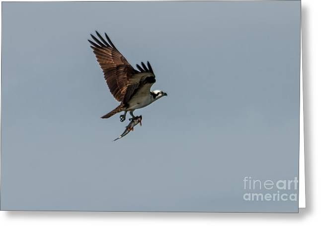 Migratory Bird Greeting Cards - Flying Fish Greeting Card by Robert Bales
