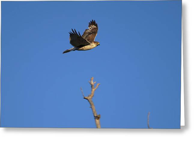 Flying Hawk I  Greeting Card by Christopher Wood