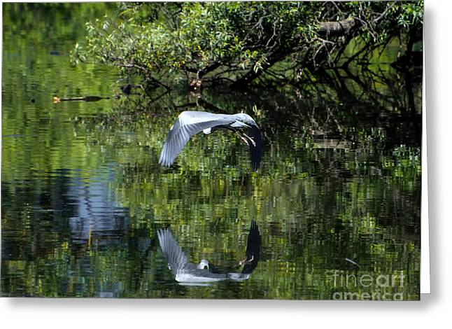 Reflecting Water Greeting Cards - Flying heron Greeting Card by Mats Silvan
