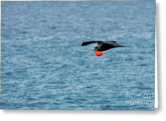 Flying Male Great Frigate Greeting Card by Sami Sarkis