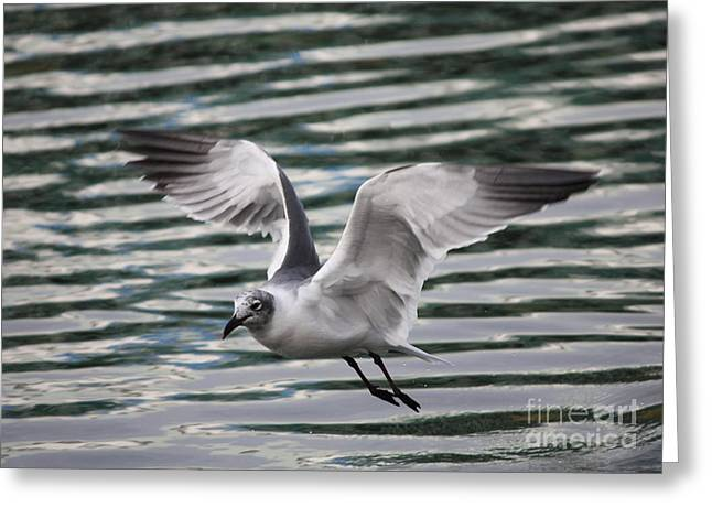 Flying Seagull Greeting Cards - Flying Seagull Greeting Card by Carol Groenen