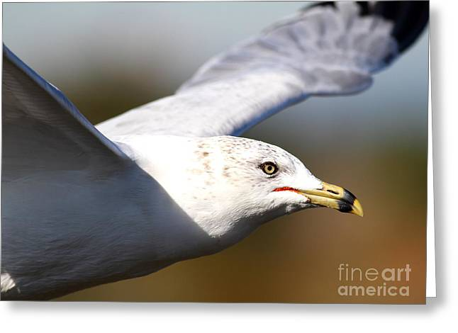 Flying Seagull Greeting Cards - Flying Seagull Closeup Greeting Card by Wingsdomain Art and Photography