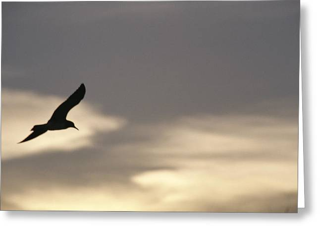 Animals In Action Greeting Cards - Flying Seagull In Silhouette Greeting Card by Raul Touzon