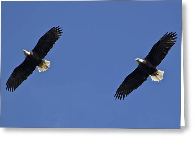 Tracey Levine Greeting Cards - Flying Side by Side Greeting Card by Tracey Levine