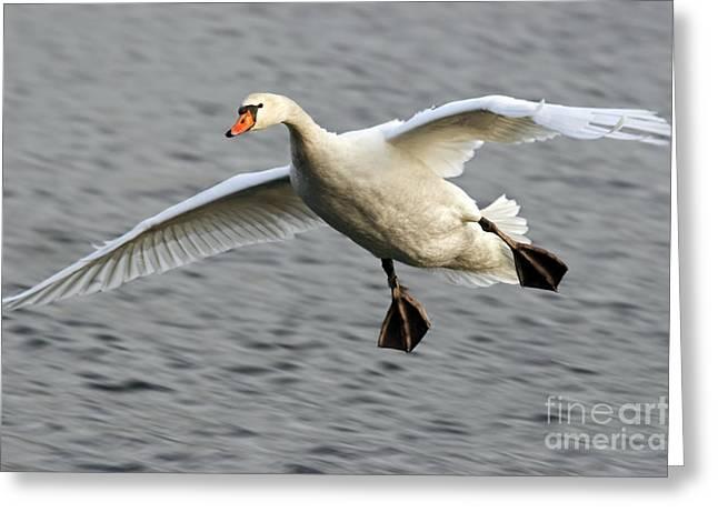 Flying Mute Swan Greeting Cards - Flying Swan Greeting Card by Michal Boubin