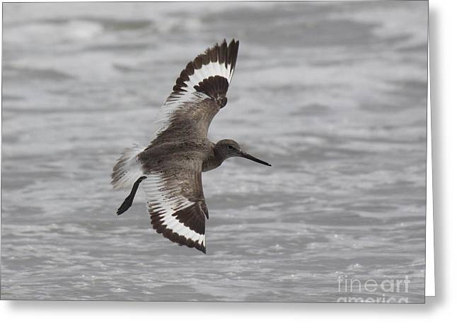 Chris Hill Greeting Cards - Flying Willet Greeting Card by Chris Hill