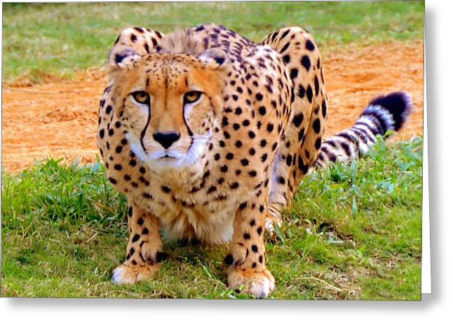 Cheetah Hunting Greeting Cards - Focused Greeting Card by David Lee Thompson