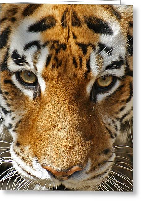 Wildcats Greeting Cards - Focused Greeting Card by Ernie Echols