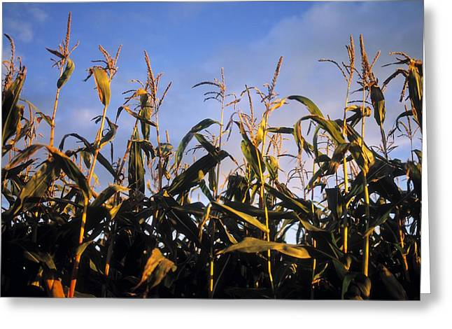 The Cornfield Greeting Cards - Fodder Maize, Ireland Greeting Card by The Irish Image Collection