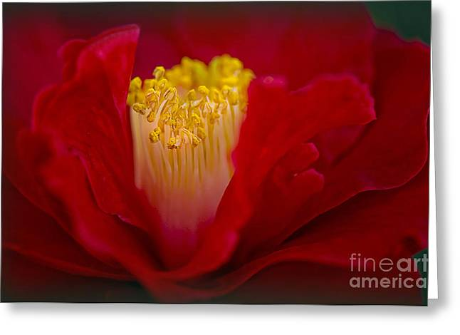 Close Focus Floral Greeting Cards - Folds of Red Greeting Card by Jacky Parker