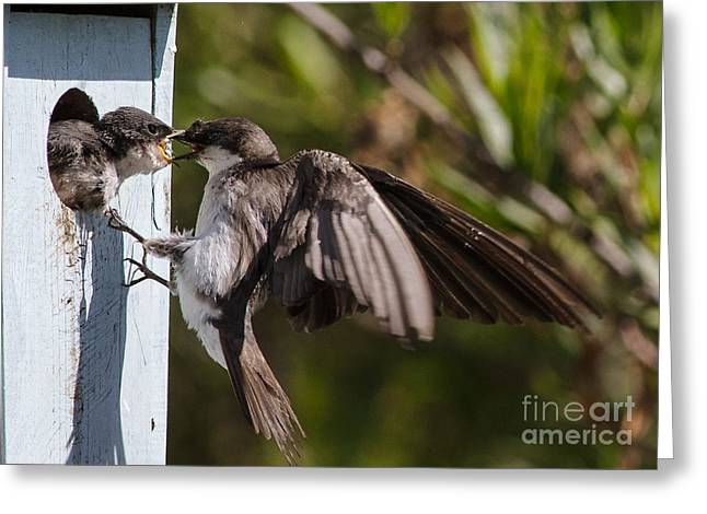 Swallow Chicks Greeting Cards - Food Exchange Greeting Card by Carl Jackson
