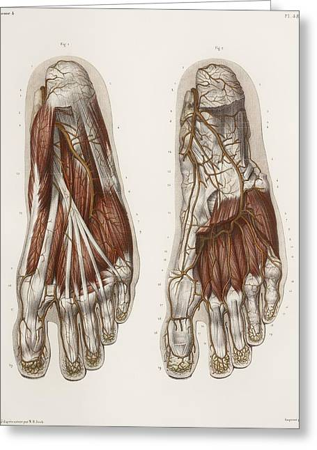 Vol Greeting Cards - Foot Anatomy, 19th Century Illustration Greeting Card by