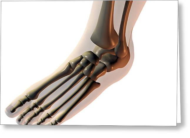 Talus Greeting Cards - Foot Bones Greeting Card by Friedrich Saurer